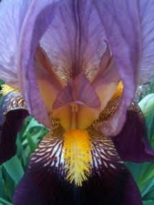Painting of Bearded Iris by Inryu Bobbi Ponce-Barger